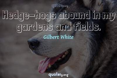 Photo Quote of Hedge-hogs abound in my gardens and fields.